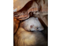 FERRET HOBS NEEDING HOMES