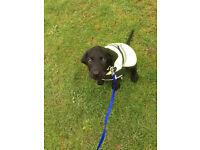 Black Labrador 4months old.