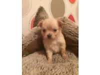 3 lovely chihuahuas or sale ready in 3weeks