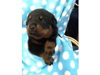 Pedigree Rotweiller Puppies