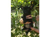 Beautiful Litter of French Bulldog Puppies