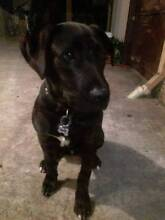 5 Month old puppy for sale Beechboro Swan Area Preview