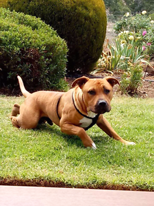 Male American Staffy..  18 months old.. Brukunga Mount Barker Area Preview