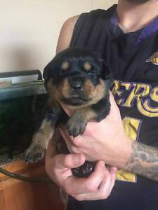 ROTTWEILER PUPS Cardiff South Lake Macquarie Area Preview