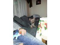 Yorkshire terrier female