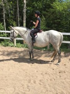 15 Year Old Thoroughbred Cross Mare