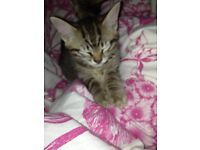bengal x tabby kitten (f) ready now *under consideration to LN*
