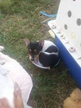 Tenterfield Terrier Puppies,Registered Dogs NSW, 1 Boy nbt Maitland Maitland Area Preview