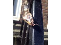 4 Year Old Male Corn Snake Grey / Brown - Need gone by the weekend