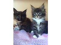 MAINE COON kittens FOR SALE !!! READY TO GO
