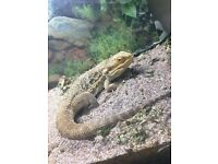 FOR SALE - 3 YR Old Bearded Dragon