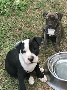 Purebred American Staffy pups 2 x males Strathpine Pine Rivers Area Preview