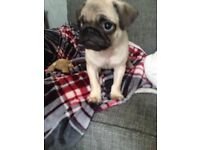 PUG Puppy KC Registered