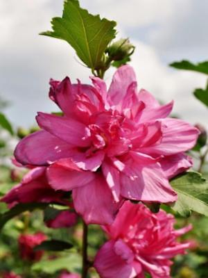 Rose Of Sharon   In 2 5 Inch Cups  3 Cups Per Order