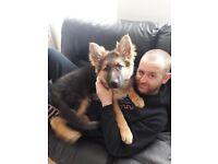16Week German Sheperd puppy for sale