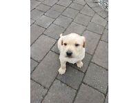 Labador pups for sale