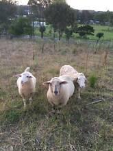 Sheep Horsley Park Fairfield Area Preview