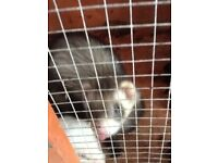 2 FERRETS AND LARGE HUTCH