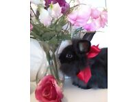Baby double lionhead and lop rabbits for sale -white,black,grey£10-£30