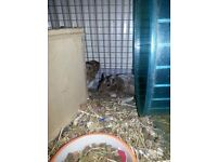 2 male degu and cage