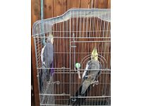cockatiels 2 males for sale