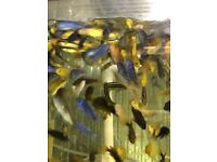 I have 10 or 20 Malawis mbunas for sale from 4/5cm.