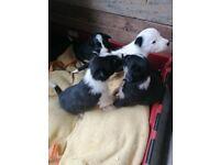 Border Collie Pure Bred Pups