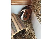 2-yr old pedigree male guinea pig with cage & carrier, seeks loving family