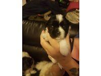 2 boy shih tzu puppys