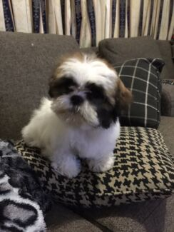 Wanted: WANTED: Looking for maltese shihtzu female puppy