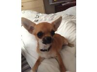 KC Registered Male Chihuahua for sale