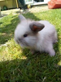 mini lop x lion head rabbits ready 9th june