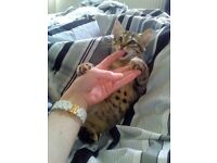 bengal x tabby kitten male