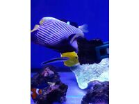 MARINE FISH / THIS IS THE LAST ADULT EMPEROR ANGELFISH , WELL RESTED