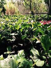 Ficus Lyrata Fiddle Leaf Fig | Direct from Nursery Sale North Maclean Logan Area Preview