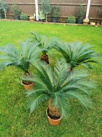 PRICE REDUCED MUST GO! Spectacular XL Sago Palm, 3 to choose from. Lovely and established