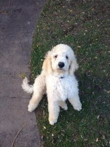 Purebred Standard Poodle Puppies Dalby Dalby Area Preview