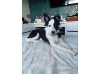 Collie Puppy for Rehoming