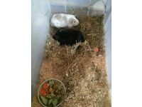 Two male guinea pigs for sale!