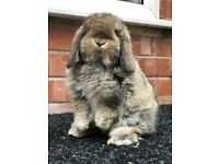 Agouti VM buck mini lop