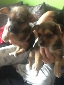 Jack Russell X Yorkshire terrier puppies for sale