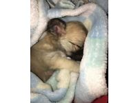 Pedigree chihuahua puppys