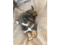 Beautifull Chihuahua Puppies