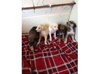 Sulkie puppy's