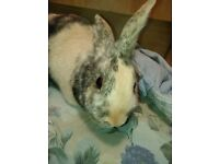Beautiful Male Bunny for sale