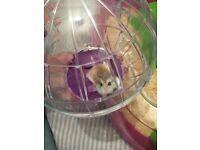 Dwarf hamster needs a new home