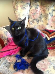 Rescue mini panther, desexed vaccinated microchipped Elizabeth Playford Area Preview