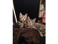 Kittens (male, bengal, 4 months old)