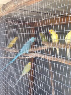Ringnecks breeding pairs $120 a pair. Adult males $60 each.