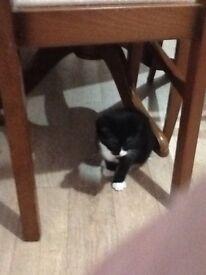 Female black white kitten